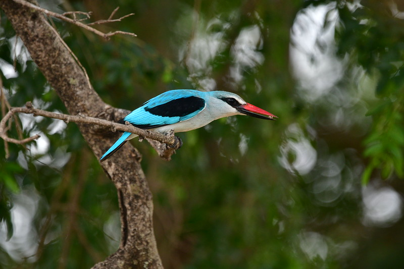 Perching Woodland Kingfisher