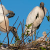Wood Storks and chicks