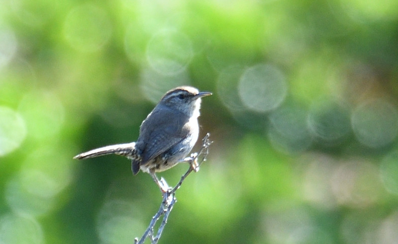 Bewicks Wren - 5/5/2019 - Trail on the way to Poway Pond east side of hill