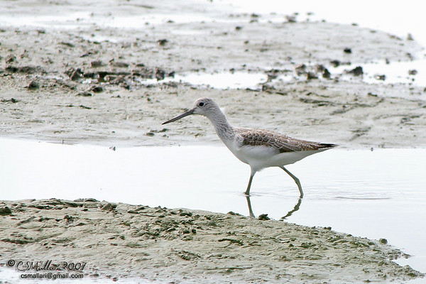 Curlews, Godwits, Sandpipers, Snipes - Family: Scolopacidae