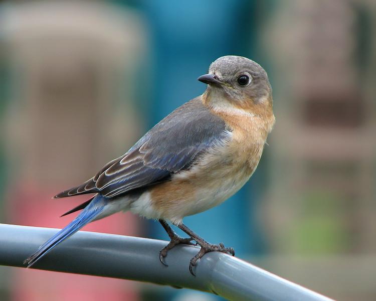 bluebird_1021.jpg