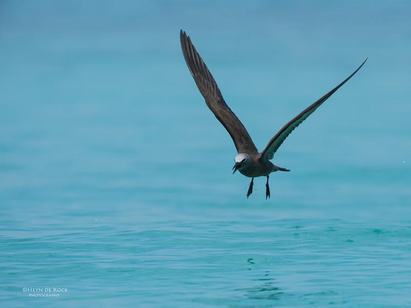 Common Noddy, Michaelmas Cay, QLD, Dec 2014-5.jpg