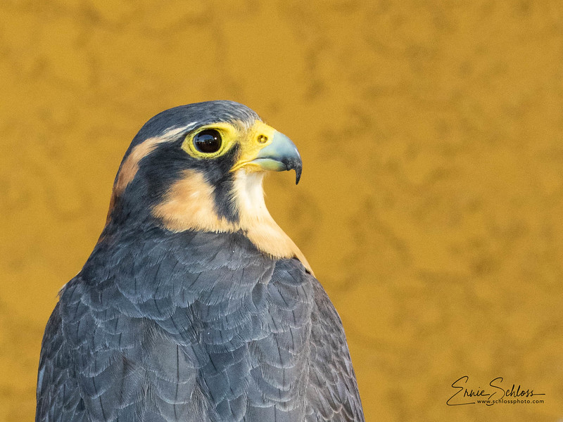 Audubon 8-121-2918g-8869.jpg
