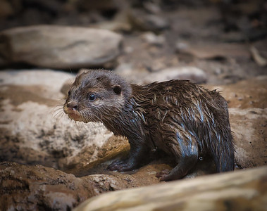 Baby Otters December 2017