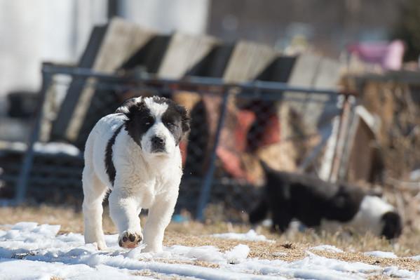 Nash - Central Asian Shepherds