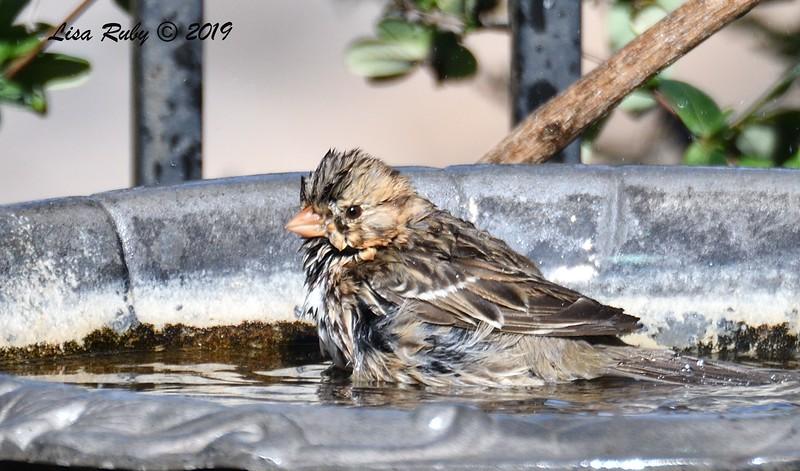 Harris's Sparrow - 2/20/2019 - Backyard Sabre Springs