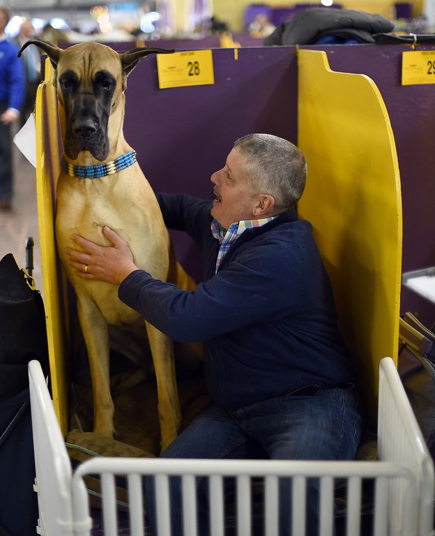 . John Pacino with their Great Dane in the benching area at Pier 92 and 94 in New York City on the 2nd day of competition at the 139th Annual Westminster Kennel Club Dog Show February 17, 2015. The Westminster Kennel Club Dog Show is a two-day, all-breed benched show that takes place at both Pier 92 & 94 and at Madison Square Garden in New York City.    AFP PHOTO /  TIMOTHY  A. CLARYTIMOTHY A. CLARY/AFP/Getty Images