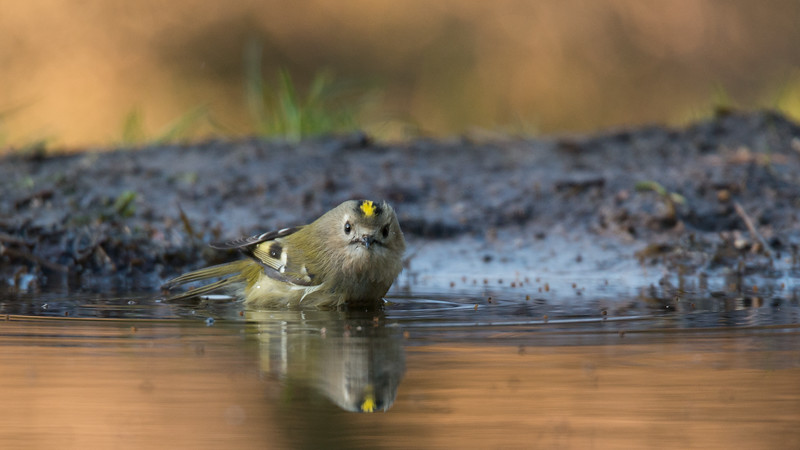 Goldcrest, Regulus regulus. Lemelerberg, The Netherlands.