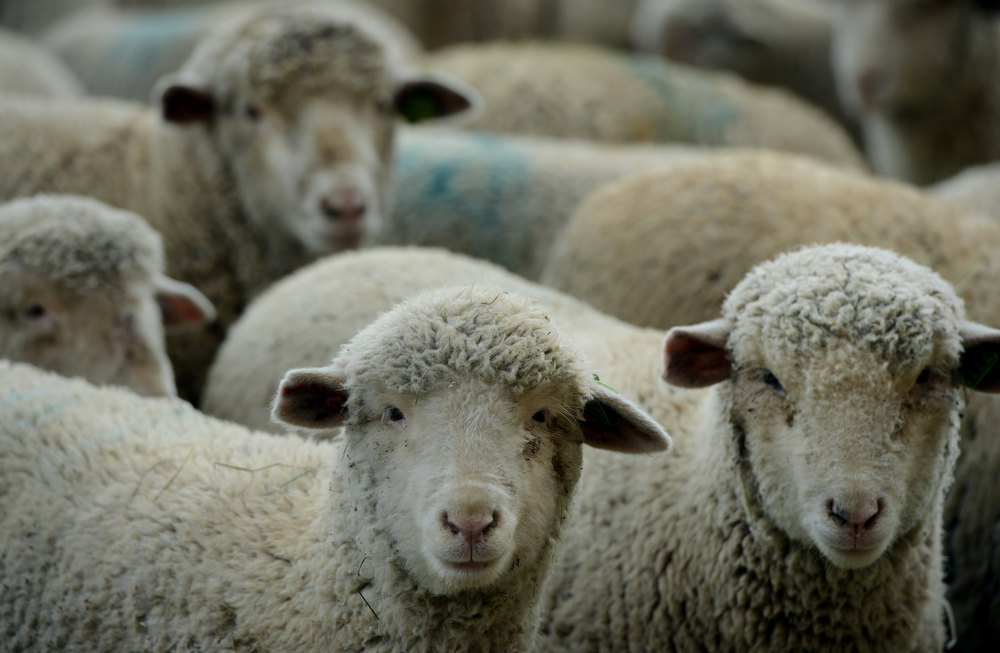. Sheep wait to take part in the Stock Dog Trials at the National Western Stock Show in Denver, CO, January, 26, 2013.  (Photo By Craig F. Walker / The Denver Post)
