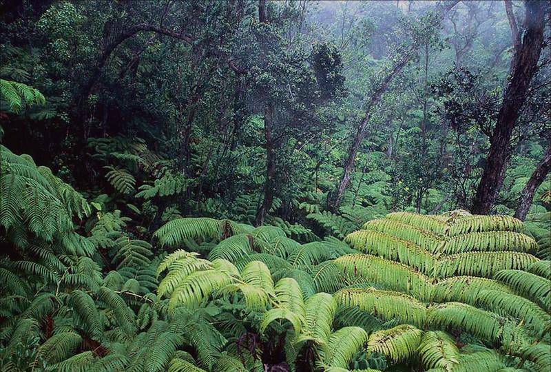 Native Hawaiian forest