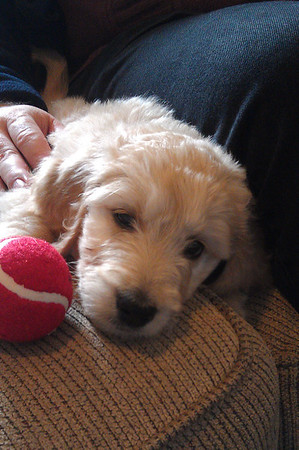 Lily - Our New Goldendoodle Grand-Pup