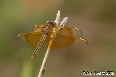 Painted Grasshawk Dragonfly