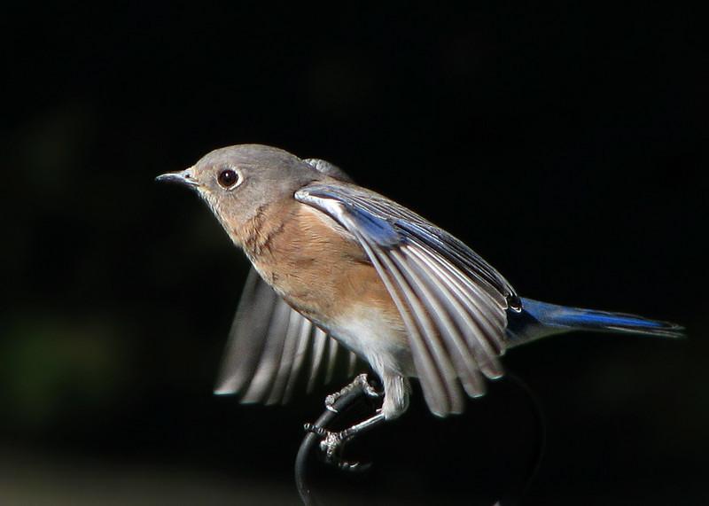 bluebird_2906.jpg