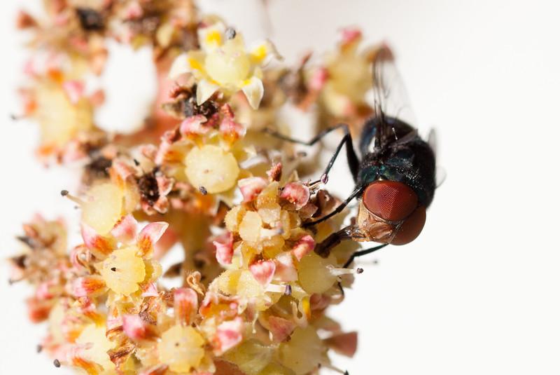 fly on mango blossom-4.jpg