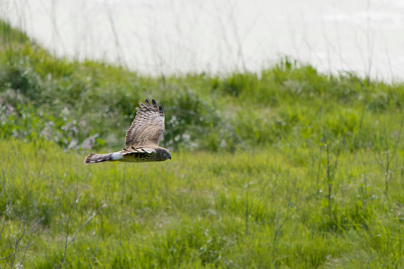Northern Harrier at Coyote Hills in Fremont
