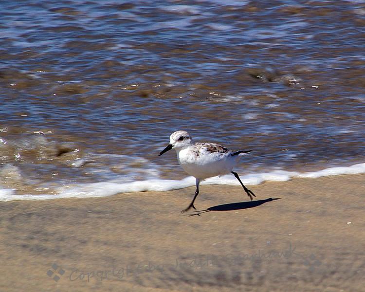 Sanderling on the Run - Judith Sparhawk