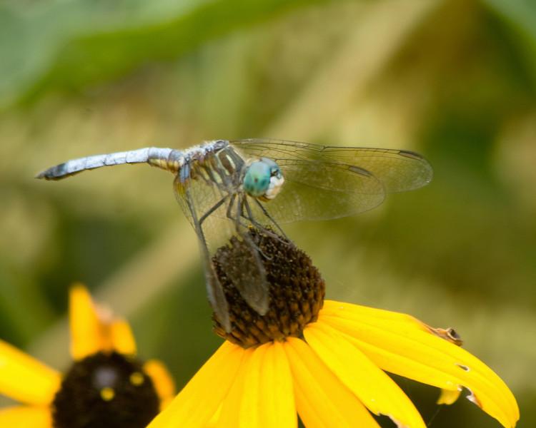 dragonflies_QBG001.jpg