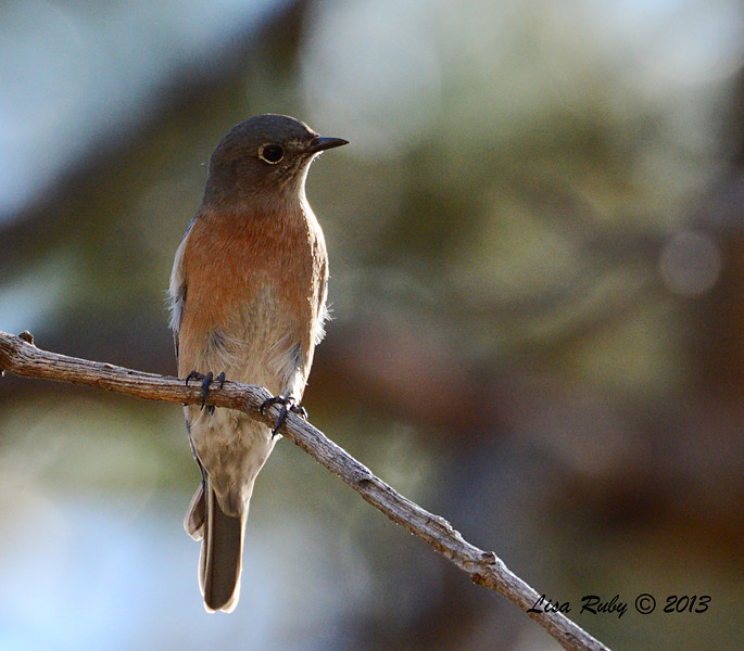 Western Bluebird - Paso Picacho Campground - 10/24/13