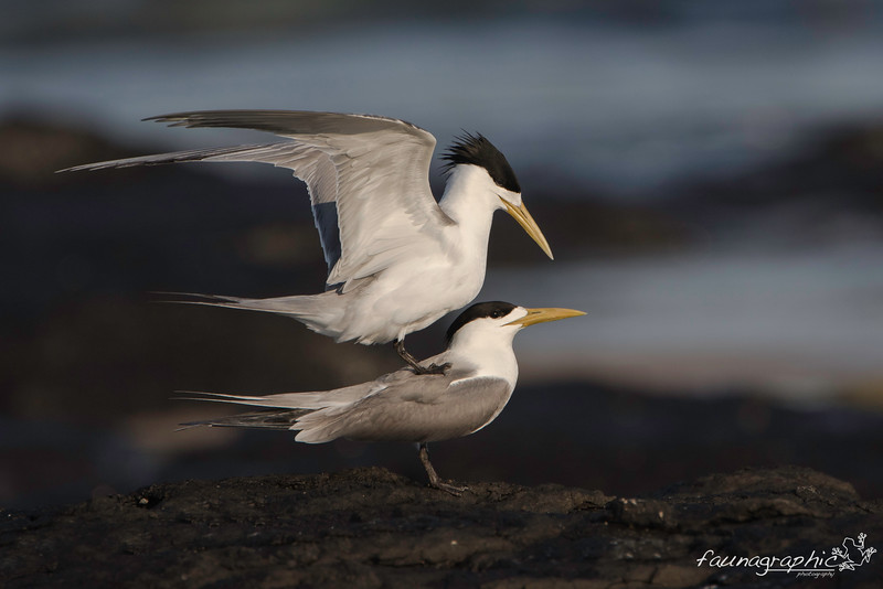 Crested Terns Mating