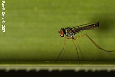 Green-Brown Long Legged Fly