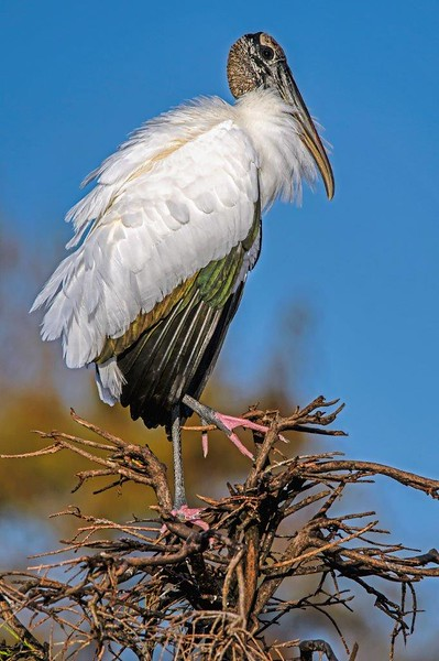 Wood Stork Portrait_DSC_5828.jpg