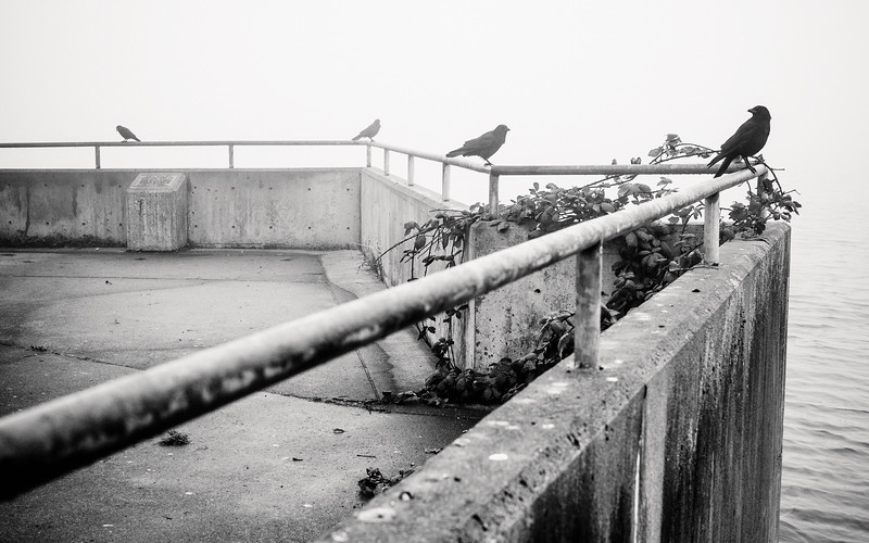 Crows take up positions along a railing at Alki beach