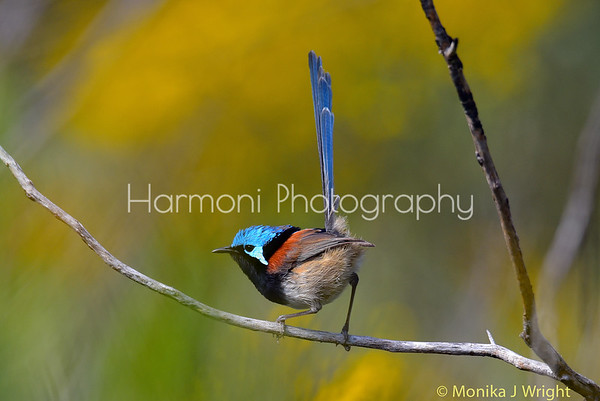Harmoni Photography Wrens (Various other)