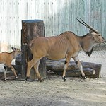 Baby Giant Eland Born at Houston Zoo