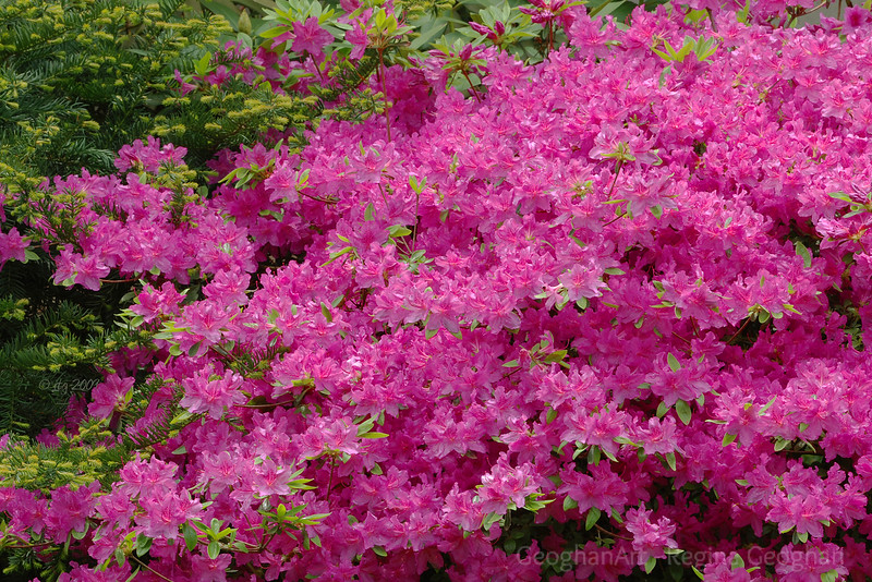 Flowering Shrubs_Azaleas-Pink_0854.jpg