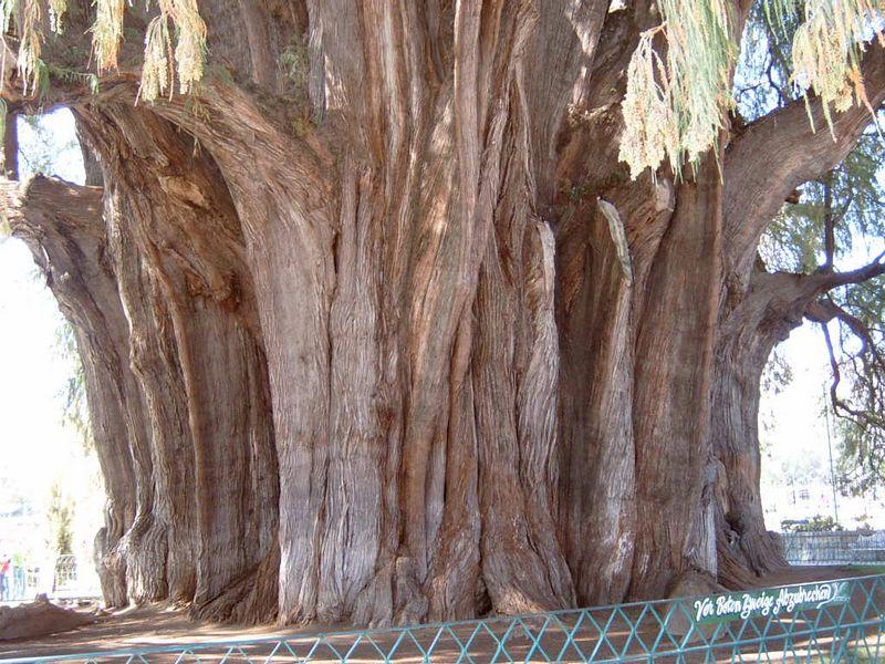 Mexico-Tule-Tree13.jpg