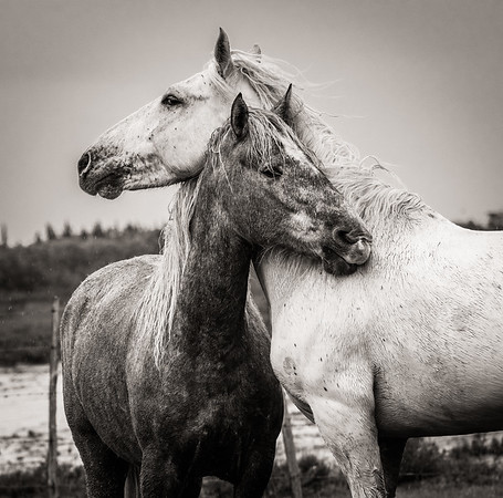 About the Camargue Horse