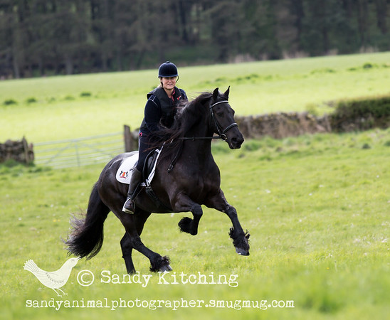 Friesian Hack Cartmel 6 May 2015