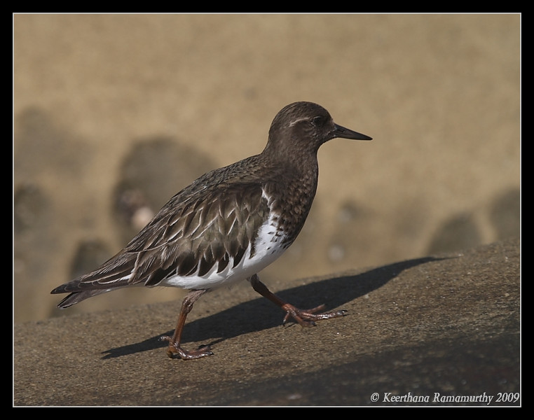 Black Turnstone, La Jolla Cove, San Diego County, California, February 2009
