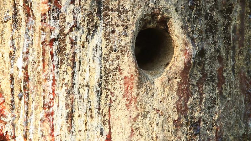 Red-cockaded Woodpecker nestling begging for food
