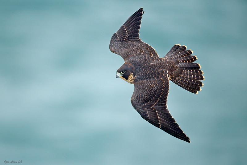 Peregrine Falcon 11.jpg
