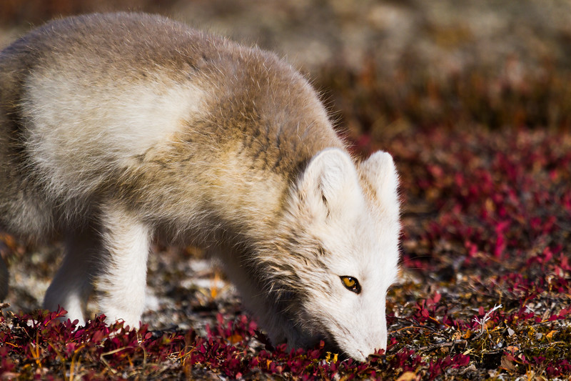 Arctic Fox, Searching