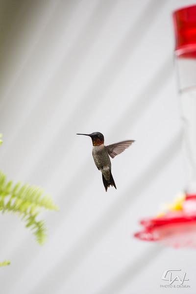Hummingbird-1955.jpg