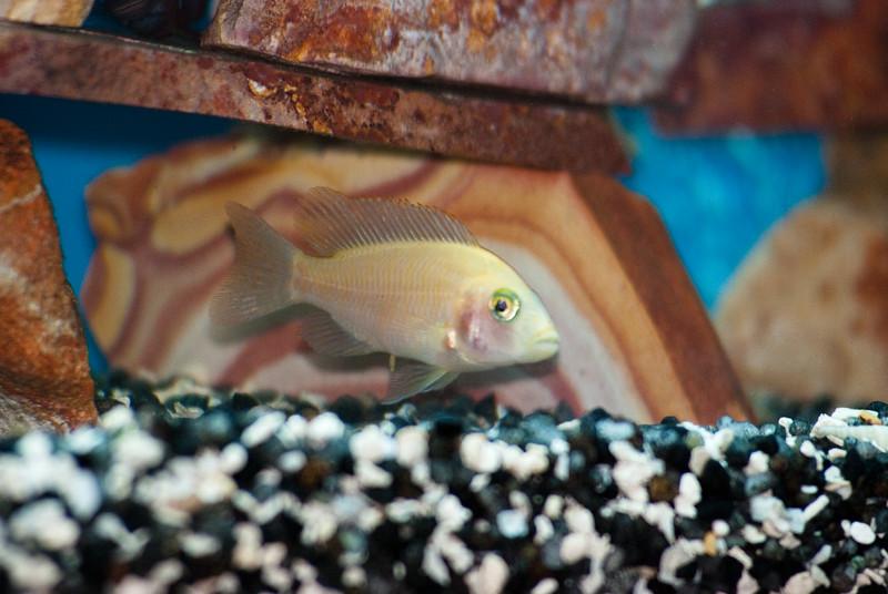 Aulonocara Peacock (African Cichlid) 3289550462.jpg