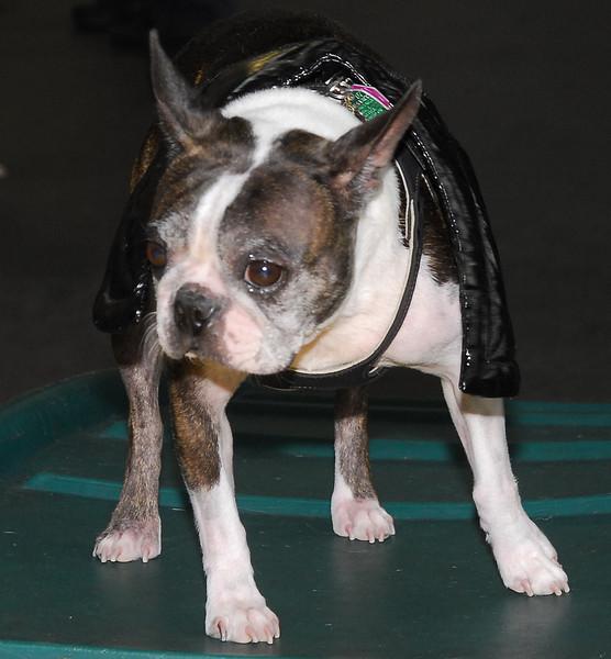 2009 Boston Terrier Halloween