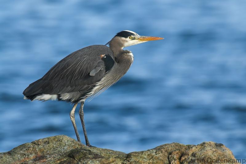 Great Blue Heron Ardea herodias