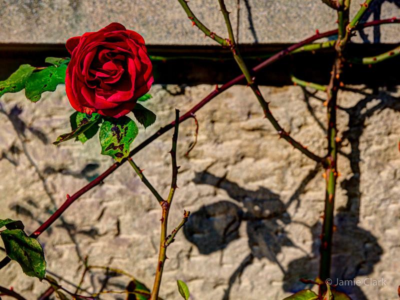 Winter Rose.  Lucerne, Switzerland