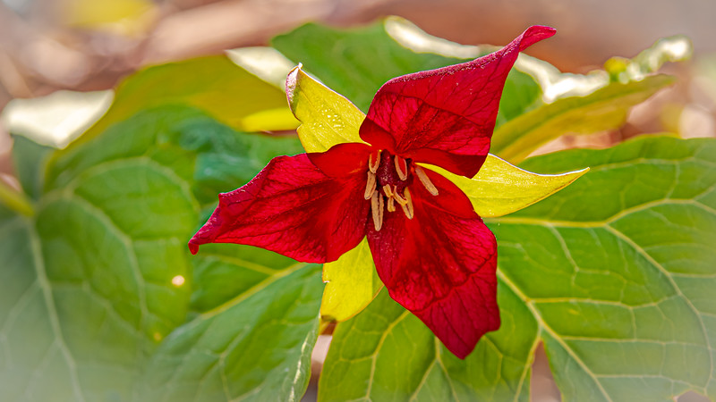 Trillium I believe, appropriate because I'm in Ontario