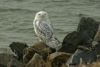 Snowy Owl at Forsythe 12-7-13