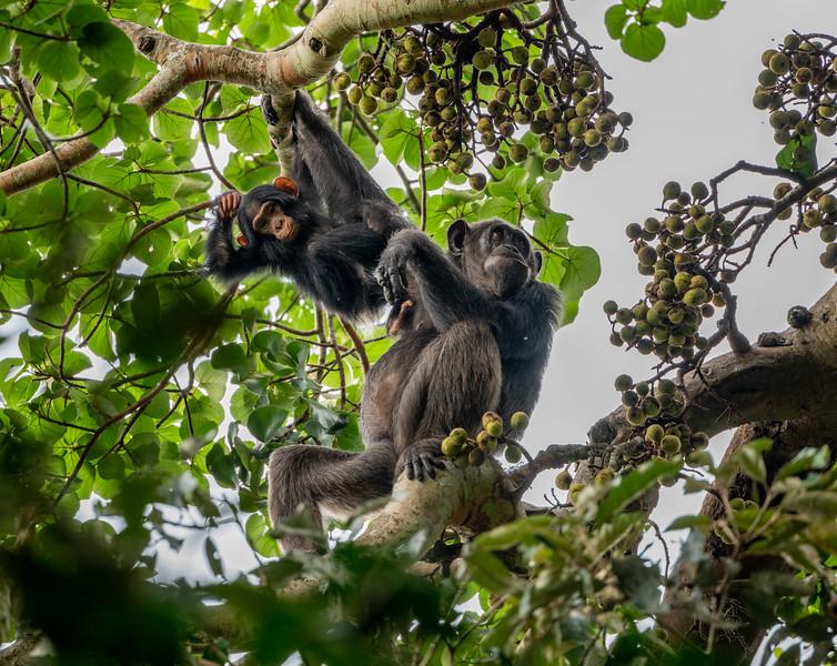 Uganda_T_Chimps-1270.jpg