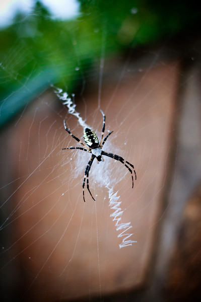 """<h3 style=""""text-align: left;""""><strong>Today's Photo: The Writing Spider</strong></h3> This evening my older brother decided to point out a writing spider on some steps on the property.  Of course, I had to get the camera out.  It was a good opportunity to get out the macro extension tubes.  Talk about getting up close and personal.  With all four extension tubes and the 50mm lens, the face of the spider took up the whole viewing port, and it was only about 2 inches from the end of the lens.  It is a manual focus set and I'm still working with it.  Although I had the extension tubes, this shot with just the raw 50mm turned out best.  - Daryl Clark  Read more at the <a href=""""http://justshootingmemories.com"""" rel=""""nofollow"""">Daily Photography Blog</a> Just Shooting Memories!..."""