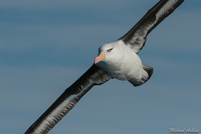 Campbell's Albatross