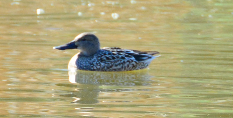 100% concensus this is a Northern Shoveler. I had wondered if it might be a Cinnamon Teal. Bill and size are too big for a Teal, and the feather pattern is more pointy, which I was told is Shoveler.