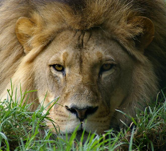 Lion-M27,1.jpg