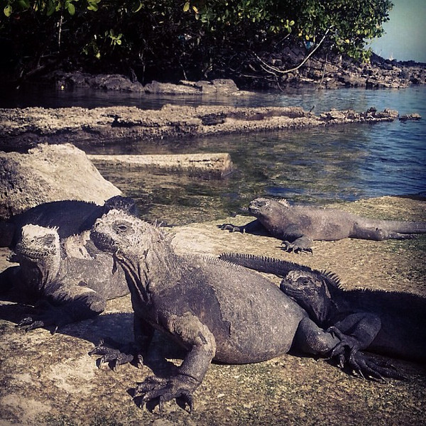 Reptiles_at_the_Galapagos_National_Park_you_can_get_close_but_eventually_they_spit_out_salt_water_at_you..jpg