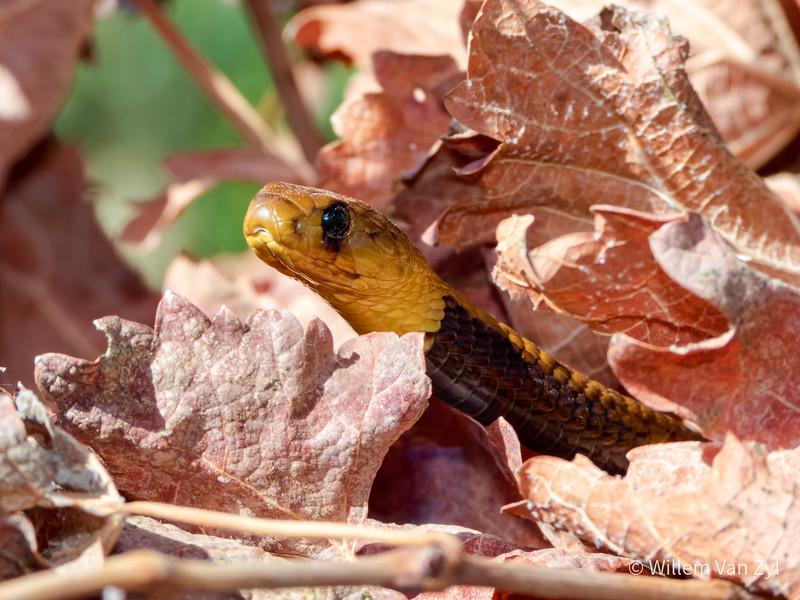 20200418 Cape Cobra (Naja nivea) from Vredendal, Western Cape